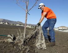 Al Hartmann     The Salt Lake Tribune A Saratoga Springs public works employee removes debris caught around a tree in the city soccer park in the Jacobs Ranch subdivision Tuesday, Sept. 4.