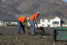 Al Hartmann     The Salt Lake Tribune A Saratoga Springs public works employees removes debris and mud covering the base of a tree in an effort to save it in the city soccer park in the Jacobs Ranch subdivision on Tuesday, Sept. 4.