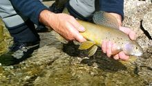An Arctic grayling caught on Monument Creek near Chena Hot Springs in Alaska.