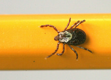 FILE - A June 8, 2010 photo shows a wood tick - or dog tick - clinging to a pencil used for scale, in Springfield, Ill.  Hantavirus, West Nile, Lyme disease and now, bubonic plague. The bugs of late summer are biting, although the risk of getting many of these scary-sounding diseases is very small. Lyme Disease is spread through ticks, the symptoms are fever, headache, fatigue and a bulls-eye rash.  (AP Photo/The State Journal-Register, Chris Young)