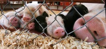 Tribune file photo  A sow and her piglets catch an afternoon nap during the opening day of the Utah State Fair on Sept. 8, 2011. This year's fair opens Thursday and continues through Sept. 16.