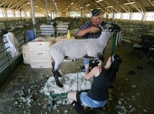Steve Griffin  |  The Salt Lake Tribune  Larry Pauly, of Delta, works with his grandaughter, Shelbie Gage, of Logan, as they sheer a sheep during the opening day of the Utah State Fair in 2011. This year's fair opens Thursday and continues through Sept. 16.