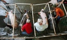 Steve Griffin  |  Tribune file photo Pigs get their afternoon baths in the livestock area during the opening day of the 2011 Salt Lake County Fair. This year's fair runs through Saturday at the South Jordan Equestrian Center, 2100 W. 11400 South.