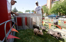 Steve Griffin  |  The Salt Lake Tribune    Father and son Charlie and Ryan Boger run a heat of pigs to test their Ham Bone Express racing track at the Utah State Fair in 2011. The 2012 fair opens Thursday and continues through Sept. 16.