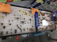 Sean P. Means  |  The Salt Lake Tribune A display of insects by Bret Mossman, a 10th-grader in the Wasatch County 4H, draws the attention of fourth-graders at the Utah State Fair.