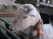 Sean P. Means  |  The Salt Lake Tribune Kid to kid: Fourth-graders get their hands on a goat at the Utah State Fair.