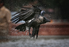 A crow takes off after taking a dip at a roadside fountain in New Delhi, India, Friday, Sept. 7, 2012. (AP Photo/Saurabh Das)