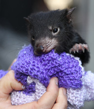 A Tasmanian devil cub tries to bite his way out of a small bag during an event marking the National Endangered Species Day in Sydney, Australia, Friday, Sept. 7, 2012. The National Threatened Species Day is a community action and an education event aimed at highlighting vulnerable Australian animals and and what can be done in our daily lives to save them. (AP Photo/Rob Griffith)