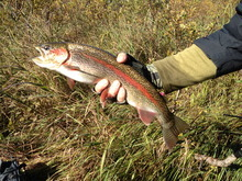 A colorful rainbow trout caught by Reed Sherman.