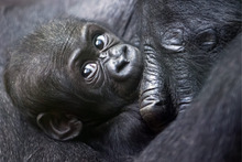 Mawimbi, a western lowland gorilla cub lies in the arm of its mother Mamitu in the Zoo of Zurich, Switzerland, Wednesday, Sept. 19, 2012. (AP Photo/Keystone, Alessandro Della Bella)