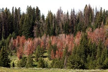 Rick Egan  | Tribune file photo Whitebark pine trees on Togwotee Pass, Wyo., are red after dying from beetle attacks. The FBI is warning that terrorist groups might seize on dry conditions and stands of beetle-killed trees to ignite forest fires.
