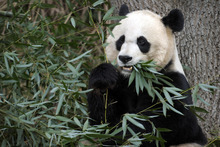 Susan Walsh  |  Associated Press file photo In this Dec. 19, 2011 file photo, Mei Xiang, the female giant panda at the Smithsonian's National Zoo in Washington, eats breakfast. Mei Xiang has given birth to a cub following five consecutive pseudopregnancies in as many years.