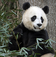 FILE - In this Dec. 19, 2011 file photo, Mei Xiang, the female giant panda at the Smithsonian's National Zoo in Washington, eats breakfast.  Mei  Xiang has given birth to a cub following five consecutive pseudopregnancies in as many years.  (AP Photo/Susan Walsh)