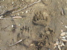Grizzly tracks were waiting when a group of anglers from Tordrillo Mountain Lodge in Alaska arrived to float down Talachulitna Creek. | Brett Prettyman/The Salt Lake Tribune