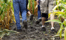Francisco Kjolseth  |  The Salt Lake Tribune It was a mud fest on Tuesday, Sept. 25, 2012, as Thanksgiving Point in Lehi shows off its latest corn maze that will allow people to