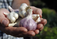 Al Hartmann     The Salt Lake Tribune Adam Diehl holds some of the hardneck and softneck heirloom garlic on his urban plots in Midvale.  These were harvested in June and dried through the summer.