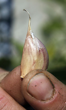 Al Hartmann     The Salt Lake Tribune Garlic cloves are planted with the pointed side up about two inches deep.