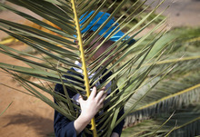 An ultra-Orthodox Jewish boy holds palm fronds to be used to build a Sukka in Bnei Brak, Israel, Friday, Sept. 28, 2012. According to the Bible, during the Sukkot holiday, known as the Feast of the Tabernacles, Jews are commanded to bind together a palm frond, or