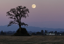 he harvest moon rises over Sauvie Island Oregon Saturday Sept. 29, 2012.  The Harvest Moon is the full moon closest to the autumnal equinox. (AP Photo/Mike Zacchino, The Oregonian)