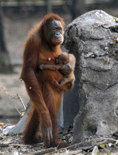 In this photo taken on Thursday, Sept. 27, 2012, Tori, a female orangutan carries her baby at Satwa Taru Jurug zoo in Solo, Central Java, Indonesia. Tori, known as one of the female orangutans which like to smoke cigaret that was given by zoo visitors, gave birth to the baby on Wednesday, Sept. 26, 2012. (AP Photo)