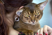 An Abyssinian cat waits to be examined by a referee during an international feline beauty competition in Bucharest, Romania, Saturday, Sept. 29, 2012. The contest, significantly less enjoyed by the cats than by the many visitors, was entered by more than 200 felines.(AP Photo/Vadim Ghirda)