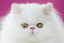 A Persian kitten, shortlisted for the Best in Show award, is seen while being examined by a referee during an international feline beauty competition in Bucharest, Romania, Saturday, Sept. 29, 2012. The contest, significantly less enjoyed by the cats than by the many visitors, was entered by more than 200 felines.(AP Photo/Vadim Ghirda)