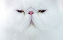 A Persian cat waits to be examined by a referee during an international feline beauty competition in Bucharest, Romania, Saturday, Sept. 29, 2012. The contest, significantly less enjoyed by the cats than by the many visitors, was entered by more than 200 felines.(AP Photo/Vadim Ghirda)