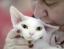 A Devon Rex is kissed by it's owner during an international feline beauty competition in Bucharest, Romania, Sunday, April 22, 2012. The contest, far less enjoyed by the cats than by the numerous visitors, was entered by more than 200 felines.(AP Photo/Vadim Ghirda)