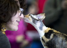 A Cornish Rex cat touches noses with a referee during an international feline beauty competition in Bucharest, Romania, Sunday, April 22, 2012. The contest, far less enjoyed by the cats than by the numerous visitors, was entered by more than 200 felines. (AP Photo/Vadim Ghirda)