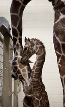 Lennie Mahler  |  The Salt Lake Tribune The 11-day-old calf at Hogle Zoo and its mother, Kipenzi, in the giraffe cages Wednesday. The female giraffe currently measures in at six feet tall and has yet to receive a name.