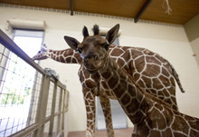 Lennie Mahler  |  The Salt Lake Tribune The 11-day-old calf, right, and mother, Kipenzi, at Hogle Zoo in the giraffe cages Wednesday, Oct. 3, 2012. The new female giraffe currently measures in at six feet tall and is yet to receive a name.