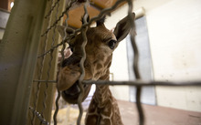 Lennie Mahler  |  The Salt Lake Tribune The 11-day-old calf at Hogle Zoo in the giraffe cages Wednesday, Oct. 3, 2012. The female giraffe currently measures in at six feet tall.