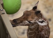 Lennie Mahler  |  The Salt Lake Tribune The 11-day-old calf at Hogle Zoo gets a taste of a metal bar in the giraffe cages Wednesday, Oct. 3, 2012. The female giraffe currently measures in at six feet tall.