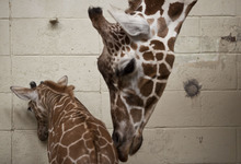 Lennie Mahler  |  The Salt Lake Tribune The 11-day-old calf at Hogle Zoo and its mother, Kipenzi, in the giraffe cages Wednesday, Oct. 3, 2012. The female giraffe currently measures in at six feet tall and has yet to receive a name.