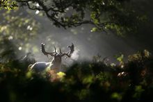 A lone stag walks through the early morning sunshine at Dunham Massey in Altrincham, north western England, Sunday Oct. 14, 2012. October is the peak of the stag rutting season when male deer fight for the right to mate with the hinds and their mating calls are heard throughout the countryside. (AP Photo/PA, Dave Thompson) UNITED KINGDOM OUT  NO SALES  NO ARCHIVE