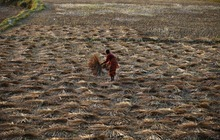 A Nepalese farmer works on the field while harvesting paddy in Chunnikhel, outskirts of Katmandu, Nepal, Wednesday, Oct. 17, 2012. (AP Photo/Niranjan Shrestha)