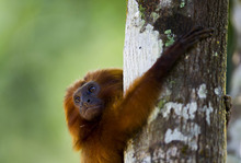 In this Oct. 10, 2012 photo, a golden lion tamarin hugs a tree in the Atlantic Forest region of Silva Jardim, in Brazil's state of Rio de Janeiro. The charismatic little monkey is bouncing back from near extinction just in time to run for mascot of Rio's 2016 Olympics. The recovery effort that raised their population to 1,700 has become an international example of effective conservation, top experts say. (AP Photo/Felipe Dana)