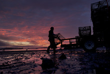 A new day dawns as the season comes to a close for lobsterman Norman Haynes, 69, loading traps onto a trailer, Friday, Oct. 19, 2012, in Falmouth, Maine. A glut of early season lobsters resulted in low prices for the fishermen, making it was one of the most disappointing seasons on record. (AP Photo/Robert F. Bukaty)