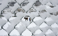 Scott Sommerdorf  |  The Salt Lake Tribune               Horses examine a field of newly fallen snow as seen through a chain link fence on Big Cottonwood Canyon Road, Thursday morning, Oct. 25, 2012.