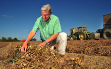 Peanut grower Armond Morris examines peanuts ready for harvest at his Irwinville, Ga., farm on Thursday, Oct. 25, 2012. Morris, like most Georgia farmers, is expecting a banner year for peanuts. (AP Photo/Todd Stone)