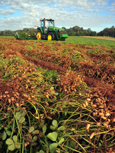Peanut grower Ray Morris plows up peanuts at his farm near Leesburg, Ga., on Thursday, October 25, 2012.  As the Georgia peanut harvest nears competion, farmers are expecting a banner crop. (AP Photo/Todd Stone)