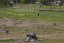 Rick Egan  | The Salt Lake Tribune   Stumps are all that remain from thousands of trees that were chopped down, due to attacks by the mountain pine beetle, at the Prince George Golf and Curling Club, Monday, September 24, 2012.