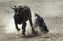 A Thai buffalo rider falls off of a buffalo during an annual water buffalo race in Chonburi Province south of Bangkok, Thailand, on Monday, Oct. 29, 2012. The annual race is a celebration among rice farmers before harvesting. (AP Photo/Sakchai Lalit)